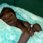 Welcome, Baby Gorilla